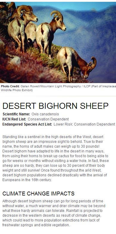 California Big Horn Sheep-003