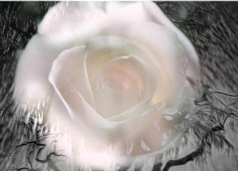 white rose jpeg-002 (2)