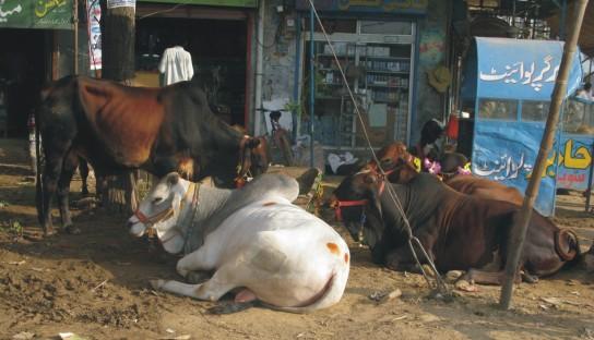 butt of animals 1
