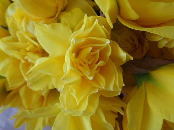 Daffodils / Narzissen