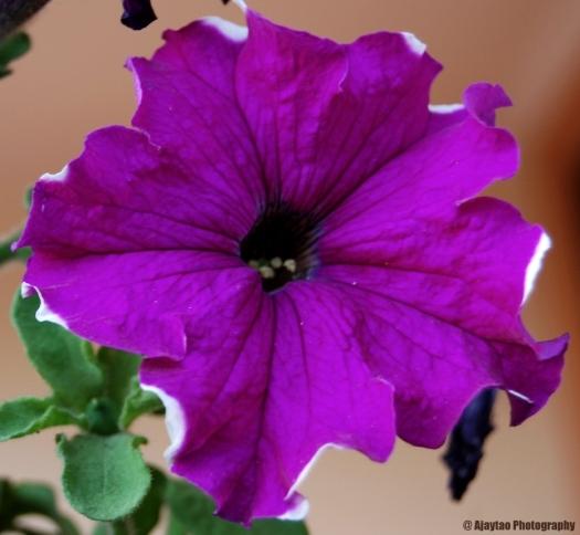 Purple beauty - Ajaytao