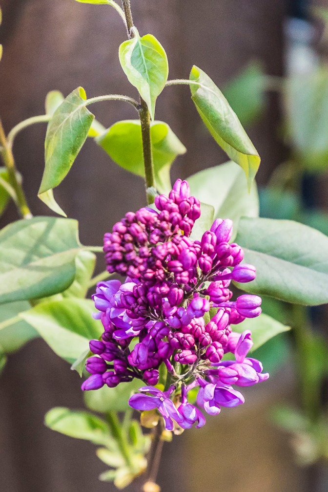 Flower of the Day (April 18, 2015) – Lilac Bud