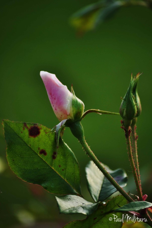 bud of a future rose